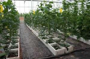 关于温室大棚蔬菜--巧用